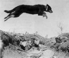 Посыльная собака (1916 год).jpg