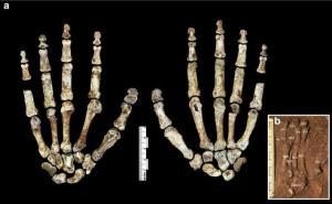 Кисть Homo naledi.jpg
